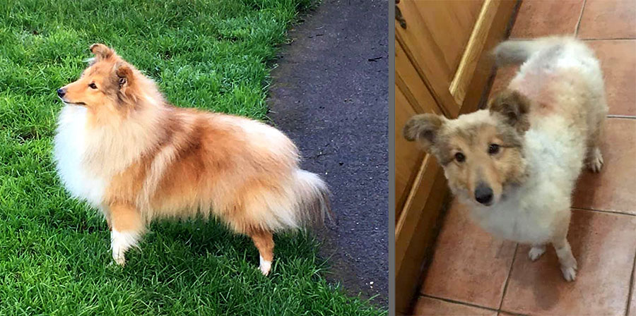 Before and after photos of Shetland sheepdog 'Sonny'.